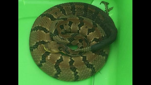 This Timber rattlesnake was found near the Gilmanton fairgrounds on August 13. The snake measured about four feet long and had nine rattles.